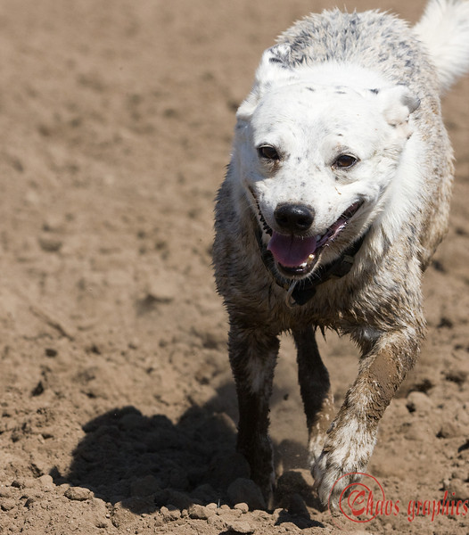 A muddy dog is a happy dog  (August 17, 2009) Just a fun shot from last Friday. No photos taken today.